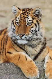 Амурский тигр — Википедия
