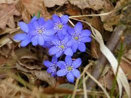 Цветы в лесу, фото, названия и описания